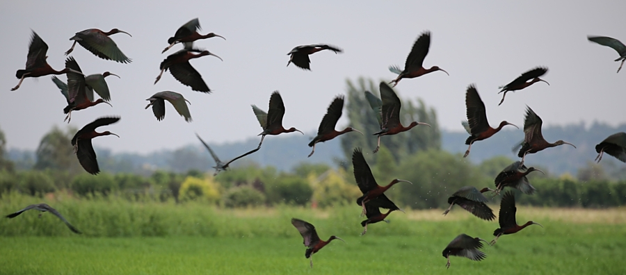 Glossy-Ibis-homepage